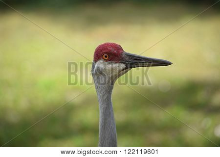 Up close of sandhill crane adult with grassy background.
