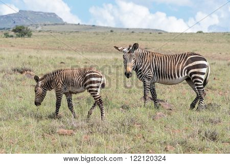 A mountain zebra mare and foal in the Mountain Zebra National Park near Cradock in South Africa