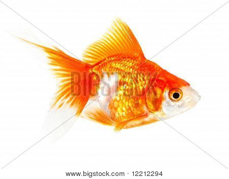 Gold Small Fish