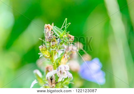 Grasshopper in the grass in a meadow in summer ** Note: Soft Focus at 100%, best at smaller sizes