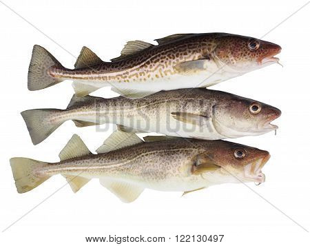 three big codfish on a white background