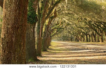 A long line of large oak trees with Spanish moss line a dirt road on a sunny day in Georgia.