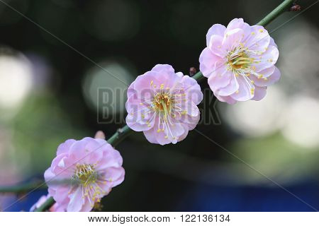 Pink Plum flowers closeup,three beautiful pink flowers blooming on the branch in spring,Flowering plum