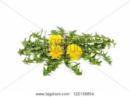 Bush of dandelion isolated on white background.