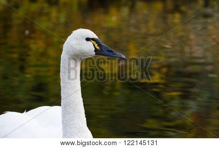 Tundra Swan at Queen Elizabeth Park Vancouver