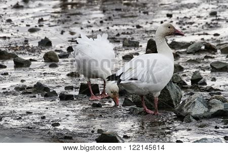 Snow Goose migratory bird close up shot