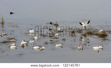 Flying Snow Goose migratory bird in BC Canada