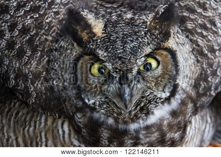 Great Horned Owl clos up shot BC Canada