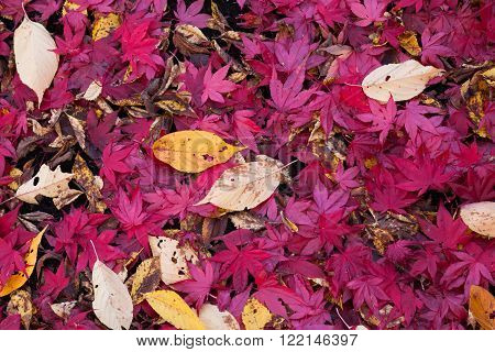 Colorful maple leaves autumn leaves for background