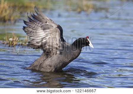 Red knobbed Coots collecting material to build a nest