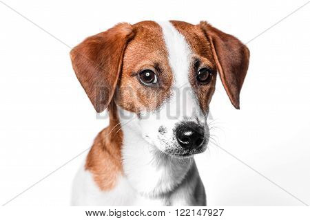 Happy dog Jack Russell terrier is isolated