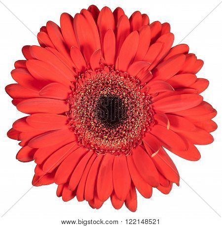 Bud red flower gerbera isolated on white background
