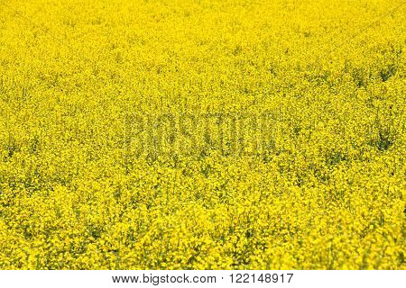 Yellow Canola Flower in spring for background use