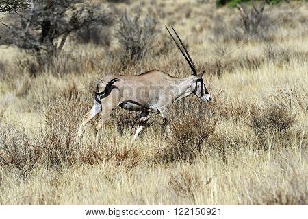 Oreks Gazella In African Savannah