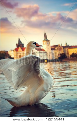 Swans On The River Vltava In Prague