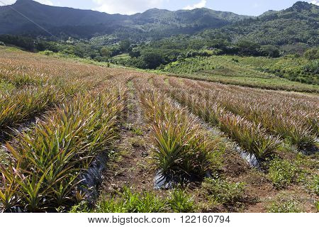 Mauritius . Plantations of pineapples in a sunny day