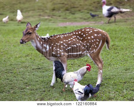 Cub of a Reindeer fawn and chicken