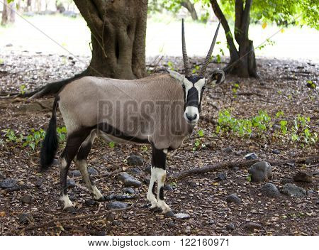sable antelope (Hippotragus niger) on nature background