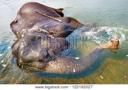 Elephant swimming in river Chitwan National park Nepal