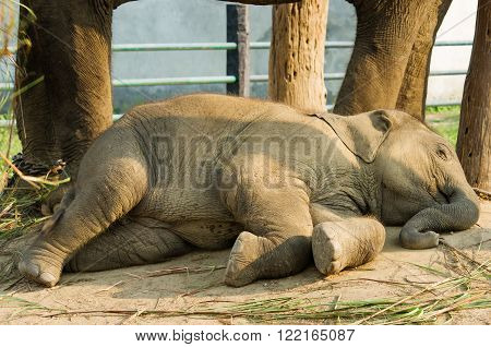 Baby Elephant in Elephant Breeding Centre in Chitwan, Nepal.