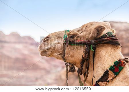 Portrait of a camel closeup on a background of old mountains. Petra is one the New Seven Wonders of the World