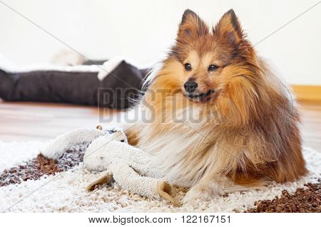 a young shetland sheepdog with dog toy