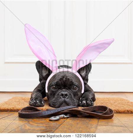 french bulldog dog waiting for go for a walk with owner , with easter bunny ears on head. leather leash on the floor