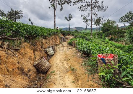 NUWARA ELIYA, SRI LANKA February 06: Fresh tea leaves are collected in baskets for further processing, Sri Lanka on 06th February, 2013.