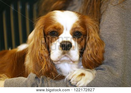 Portrait Of Cavalier King Charles Spaniel Puppy