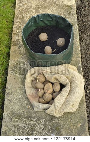Planting seed potatoes in a space saving growing bag or patio container of compost variety 'Picasso'.