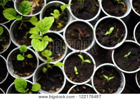 Seedlings in pots. Spring seedlings sprouting. Shallow depth of field. Selective focus on the largest leaf. Top view.