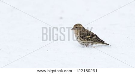 A Pine Siskin finch (Carduelis pinus) searches in corn snow for seeds and things to eat on an early-springtime morning.
