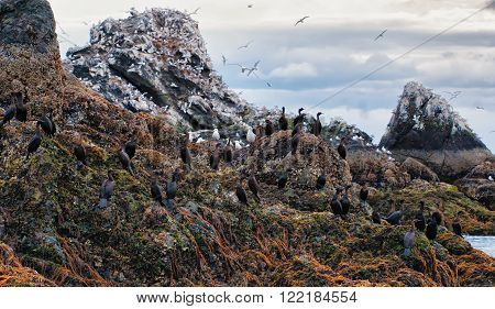 Cormorants perch on a rock covered in kelp and barnacles at low tide in Kachemak Bay Alaska