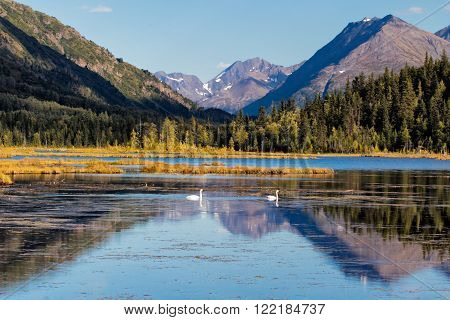 Two swans swim together in a lake on the Kenai Peninsula in Alaska