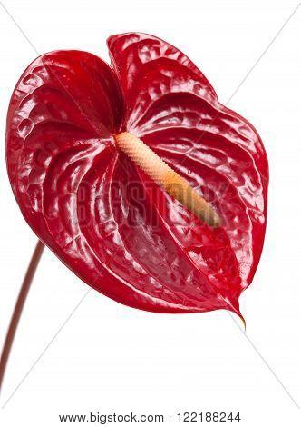 Dark Red Anthurium
