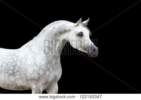 Arabian horse portrait isolated on black background