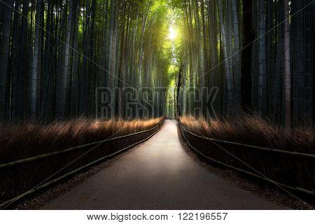The Arashiyama Bamboo Grove of Kyoto Japan