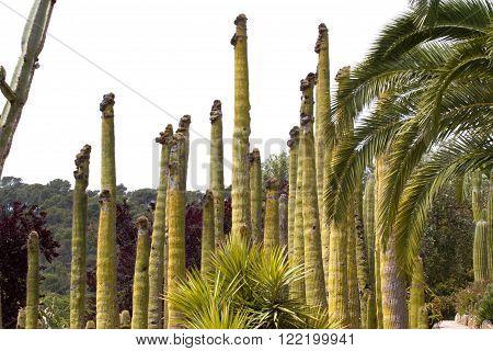 Cereus background in botanical garden in lloret de Mar, Spain