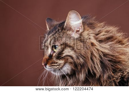 Maine Coon Cat On Brown Background