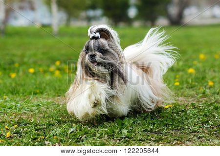 Shih Tzu decorative dog runs in the summer on the grass hair flying in the wind