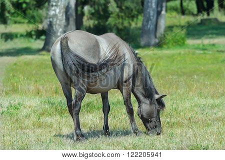 Profile portrait of feeding tarpan horse at green summer bushes background