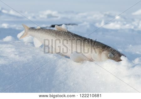 Smelt Fish Lying In The Snow.