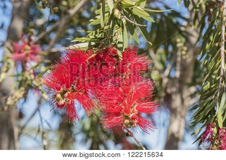 Callistemon citrinus Melaleuca citrina lemon bottlebrush crimson escobillon rojo o arbol del cepillo