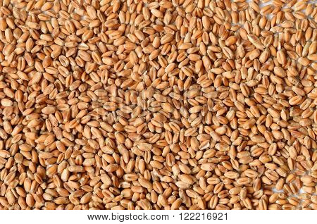 Uncooked Wheat Grain