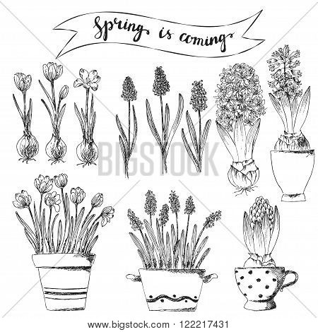 Set of vector hand drawn line art spring flowers and spring is coming lettering. Spring hyacinth grape hyacinth crocus ink drawings for easter decor garden backgrounds floral design.