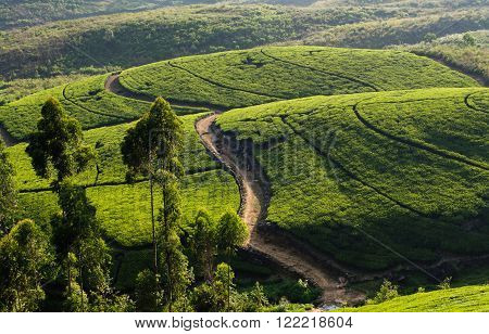 Tea Plantation near Nurawa Eliya, Sri Lanka- Tea production is one of the main sources of foreign exchange for Sri Lanka (formerly called Ceylon), and accounts for 2% of GDP, contributing US $1,527 million in 2013 to the economy of Sri Lanka