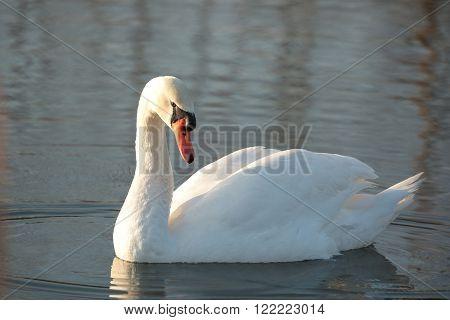 Swan on the lake at dawn. Poland.
