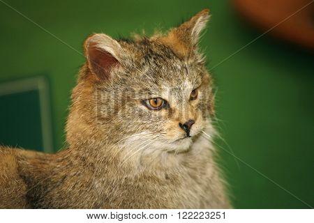Felis Silvestris Wild Cat