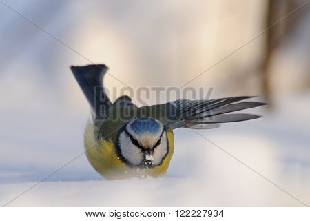 Blue Tit (Parus caeruleus Cyanistes caeruleus) flapping wings in snowdrift