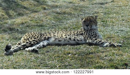 Photograph of a cheetah resting on the grass